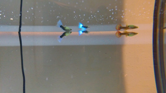 Two female guppies on the sides. Male in the center.